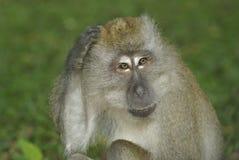 Scimmia che graffia testa fotografie stock