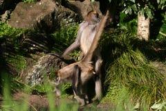Scimmia che ha sesso fotografie stock