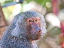 Scimmia che lo esamina - giardino zoologico di Adelaide Fotografia Stock