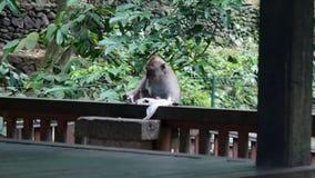 Scimmia che mangia in Bali stock footage