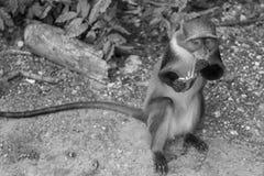 Scimmia che mangia banana Fotografia Stock