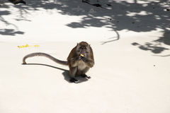 Scimmia che mangia banana - spiaggia sulla Tailandia Fotografia Stock Libera da Diritti