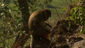 Scimmia che mangia borsa di alimento video d archivio