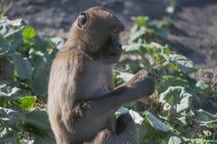 Scimmia che mangia erba mentre sedendosi fotografia stock libera da diritti