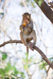 Scimmia che mangia frutta Fotografia Stock