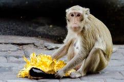 Scimmia che mangia Jackfruit. Immagine Stock Libera da Diritti
