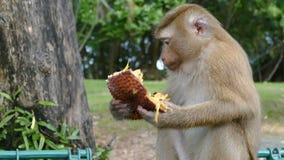 Scimmia che mangia Jackfruit video d archivio
