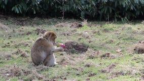 Scimmia che mangia la frutta di Apple - macachi di Barbary dell'Algeria & del Marocco stock footage