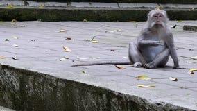 Scimmia che mangia le foglie in Bali video d archivio
