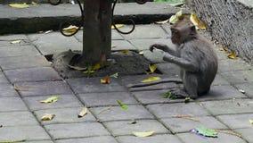 Scimmia che mangia le foglie in Bali archivi video