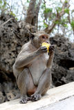 Scimmia che mangia mango Fotografia Stock Libera da Diritti