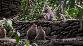 Scimmia che mangia noce di cocco in Bali stock footage