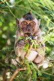 Scimmia che mangia su un albero Fotografie Stock