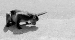 Scimmia che mangia sulla terra Fotografia Stock