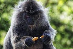 Scimmia che mangia un'arachide Fotografie Stock