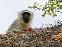Scimmia che mangia una mela Immagini Stock