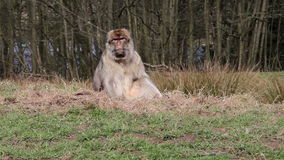 Scimmia che mastica sulla Banca erbosa - macachi di Barbary dell'Algeria & del Marocco stock footage