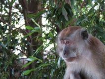 Scimmia che osserva fuori Immagini Stock Libere da Diritti