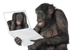 Scimmia che osserva su uno schermo di computer Fotografia Stock