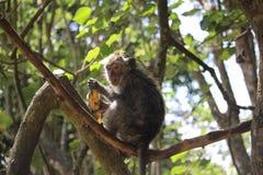 Scimmia che sbuccia una banana Fotografie Stock