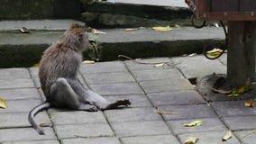 Scimmia che si siede in Bali archivi video