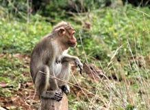 Scimmia che si siede con uno stile Fotografia Stock Libera da Diritti
