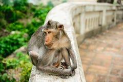 Scimmia che si siede da solo Fotografie Stock