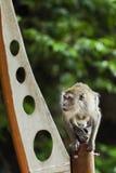 Scimmia che si siede su un palo Fotografie Stock