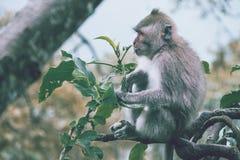 Scimmia che si siede su una filiale Fotografie Stock