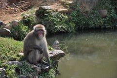 Scimmia che si siede su una roccia Immagine Stock