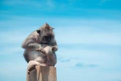 Scimmia che si siede su una roccia Cinese un simbolo di 2016 nuovi anni Fotografia Stock