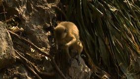 Scimmia che si siede sulla piccola roccia video d archivio