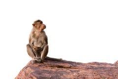 Scimmia che si siede sulla roccia Fotografia Stock