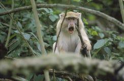 Scimmia chiara di Samango, bocca aperta, Sudafrica Fotografie Stock