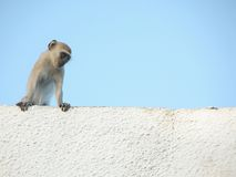 Scimmia Chillin Fotografia Stock