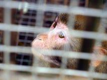 Scimmia cinese Immagini Stock