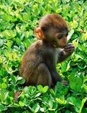 Scimmia cinese Fotografie Stock