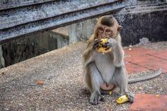 Scimmia con cereale fotografie stock