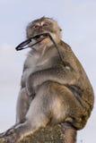 Scimmia con gli occhiali da sole Immagine Stock
