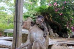 Scimmia con il bambino Immagini Stock Libere da Diritti