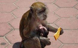 Scimmia con il biscotto a disposizione e bambino in armi fotografia stock libera da diritti