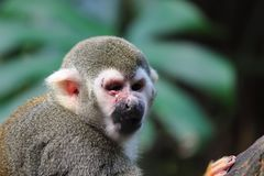 Scimmia con infiammazione sull'occhio in zoo Germania immagini stock