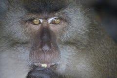 Scimmia con l'arachide Fotografia Stock Libera da Diritti