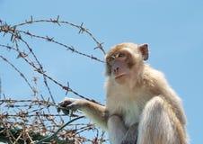 Scimmia con la sbavatura Immagini Stock