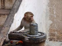 Scimmia con Linga a città santa di Varanasi in India Immagine Stock Libera da Diritti