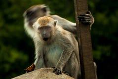 Scimmia con lo sguardo intenso immagine stock libera da diritti
