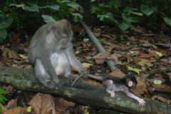 Scimmia con un cucciolo Immagini Stock Libere da Diritti