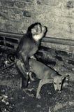 Scimmia CONTRO il cane Fotografie Stock Libere da Diritti