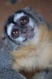 Scimmia curiosa Fotografia Stock
