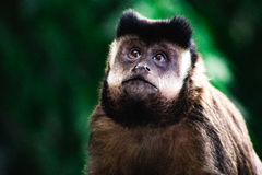Scimmia curiosa Fotografie Stock Libere da Diritti